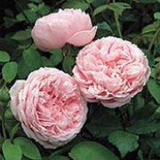 'Spirit of Freedom' is a deciduous, climbing, English rose with green, glossy foliage that emerges red. The large, double bloom, pink flowers are repeated throughout the summer. Rosa 'Spirit of Freedom' added by Shoot)
