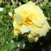 Rosa 'Flower Carpet Gold' (Rose 'Flower Carpet Gold')