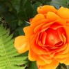 Rosa 'Simply The Best' (Rose 'Simply The Best')