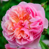 Rosa 'Anne Boleyn' (Shrub rose 'Anne Boleyn')