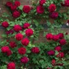 Rosa 'Tess Of The d'Urbervilles' (Shrub rose 'Tess Of The d'Urbervilles')