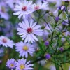Aster 'Little Carlow' (Michaelmas daisy 'Little Carlow')