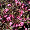 Weigela florida 'Wine and Roses' (Weigela florida 'Wine and Roses' )