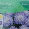 Scabiosa 'Butterfly Blue' (Pincushion flower 'Butterfly Blue')