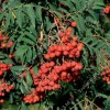 Sorbus aucuparia 'Chinese Lace' (Rowan 'Chinese Lace' )