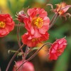 Geum 'Flames of Passion' (Avens 'Flames of Passion')