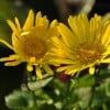 Doronicum 'Little Leo' (Leopard's bane 'Little Leo')