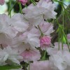 Prunus 'Shogetsu' (Japanese flowering cherry)