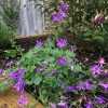 Campanula poscharskyana (Trailing bellflower)