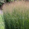 Panicum virgatum 'Heavy Metal'  (Switch grass 'Heavy Metal')