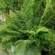 'Pulcherrimum Bevis' is a soft evergreen fern with green, feathery, tapering fronds.  Polystichum setiferum 'Pulcherrimum Bevis' added by Shoot)