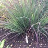 Andropogon gerardii (Big blue stem)