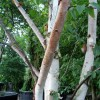 Betula albosinensis 'Fascination' (Chinese red birch 'Fascination')