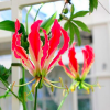 Gloriosa superba 'Rothschildiana' (Gloriosa lily )