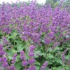 Salvia verticillata 'Purple Rain' (Whorled clary 'Purple Rain')