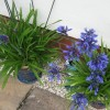 Agapanthus 'Midnight Star' (African lily 'Midnight Star')