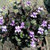 Viola riviniana Purpurea Group (Common dog violet Purpurea Group)