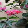 Clerodendrum splendens (Glory tree)