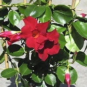 'Sunmandecrim' is an evergreen, semi-climber with deep green eliptical leaves and red flowers with overlapping petals, blooming from spring until late summer. Mandevilla 'Sunmandecrim' added by Shoot)