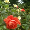 Rosa 'Summer Song' (Shrub roses 'Summer Song' )