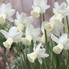 Narcissus 'Scilly White' (Narcissus 'Scilly White')