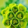 Euphorbia myrsinites (Broad leaved glaucous spurge)