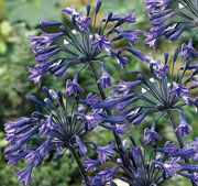 Agapanthus 'Back In Black'
