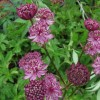 Astrantia 'Moulin Rouge' (Masterwort 'Moulin Rouge')