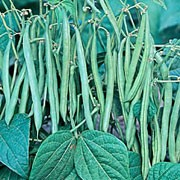'Sultana' is a half-hardy, climbing annual with pencil-like pods of stringless, green beans in late-summer and early autumn. Phaseolus vulgaris 'Sultana' added by Shoot)