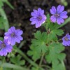 Geranium pyrenaicum 'Bill Wallis' (Mountain cranesbill 'Bill Wallis')