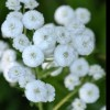 Anaphalis triplinervis (Triple-nerved pearly everlasting)
