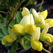 'Citrina' is a small, rounded, compact evergreen shrub with pinnate, blue-grey leaves and umbels of small, fragrant, pale yellow flowers in late winter and early spring. Coronilla valentina subsp. glauca 'Citrina' added by Shoot)