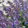 Nepeta x faassenii 'Kit Cat' (Garden catmint 'Kit Cat')