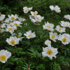 Paeonia lactiflora 'White Wings' (Peony 'White Wings')