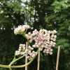 Valeriana officinalis (Common valerian)