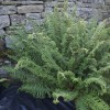Dryopteris affinis 'Cristata' (Scaly male fern 'Cristata')