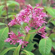 Fuchsia arborescens added by Shoot)