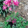 Aquilegia 'Winky Red & White' (Winky Series) (Columbine 'Winky Red & White')