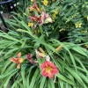 Hemerocallis 'Red Rum' (Day lily 'Red Rum')