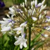 Agapanthus 'Enigma' (African lily 'Enigma')