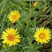 Inula ensifolia added by Shoot)