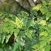 Adiantum venustum (Evergreen maidenhair)