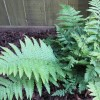 Dryopteris filix-mas (Male fern)
