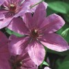 Clematis 'Ruby Glow'