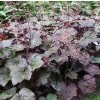 Heuchera 'Black Beauty'  (Alum root 'Black Beauty' )