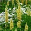 Lupinus 'Chandelier' (Band of Nobles Series) (Lupin 'Chandelier')