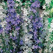 'Blue & White Bells' is a slender, upright biennial with green leaves and tall stems with bell shaped flowers of soft-blue or white in summer. Campanula 'Blue & White Bells' added by Shoot)