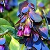 Cerinthe major 'Blue Kiwi' (Honeywort 'Blue Kiwi')