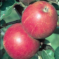 Malus domestica 'Queen Cox'
