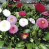 Bellis perennis 'Spring Star' (Double daisy 'Spring Star')